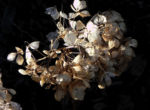 Garten Hortensie Winter Bluete braun Hydrangea macrophylla 05