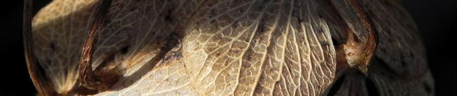 gartenhortensie-winter-bluete-braun-hydrangea-macrophylla