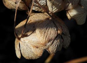 Bild: Garten Hortensie Winterbluete braun Hydrangea macrophylla