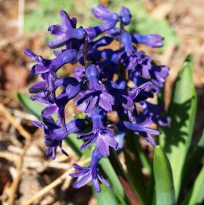 Garten Hyazinthe Bluete dunkel lila Hyacinthus orientalis 02