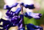 Garten Hyazinthe Bluete dunkel lila Hyacinthus orientalis 07