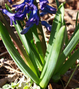 Garten Hyazinthe Bluete dunkel lila Hyacinthus orientalis 15