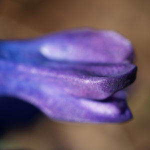 Garten Hyazinthe Bluete dunkel lila Hyacinthus orientalis 18