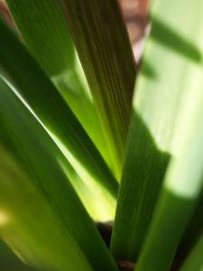 Garten Hyazinthe Staengel gruen Hyacinthus orientalis 12