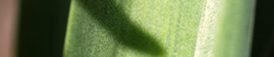 gartenhyazinthe-garten-hyazinthe-bluete-dunkel-lila-hyacinthus-orientalis