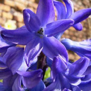 Garten Hyazinthe blaue Bluete Hyacinthus Orientalis Hybride 01