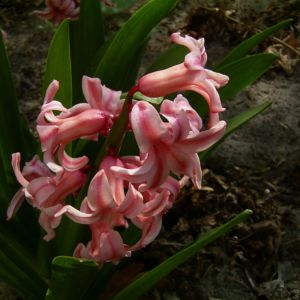 Garten Hyazinthe rosa Hyacinthus Orientalis Hybride 01