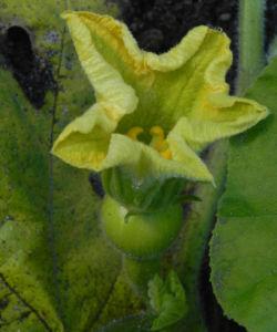 Garten Kuerbis Bluete gelb Cucurbita pepo 01
