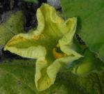 Garten Kuerbis Bluete gelb Cucurbita pepo 02