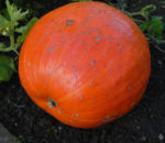 Garten Kuerbis Frucht orange Cucurbita pepo 01