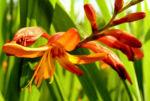 Bild: Garten-Montbretie Blüte orange Crocosmia x crocosmiflora