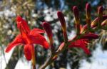 Garten Montbretie Bluete rot Crocosmia x crocosmiiflora 05