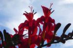Garten Montbretie Bluete rot Crocosmia x crocosmiiflora 07