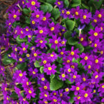 Garten Primel Bluete lila Primula Vulgaris Hybride 01