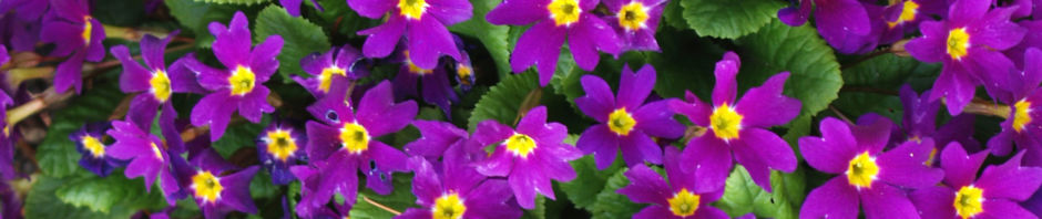 gartenprimel-bluete-lila-primula-vulgaris-hybride