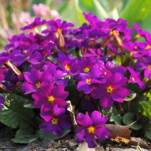 Garten Primel Bluete lila Primula Vulgaris Hybride 02