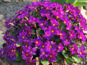 Garten Primel Bluete lila Primula Vulgaris Hybride 03