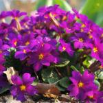 Garten Primel Bluete lila Primula Vulgaris Hybride 04