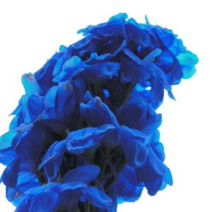 Garten Rittersporn Bluete dunkelblau weiss Consolida ambigua 02