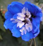 Garten Rittersporn Bluete dunkelblau weiss Consolida ambigua 05