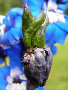 Garten Rittersporn Bluete dunkelblau weiss Consolida ambigua 06