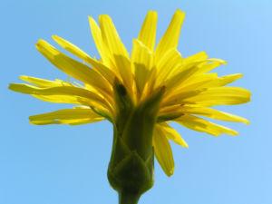 Garten Schwarzwurz Bluete gelb Scorzonera hispanica 01