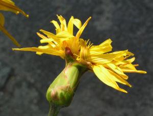 Garten Schwarzwurz Bluete gelb Scorzonera hispanica 02