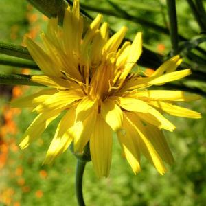 Garten Schwarzwurz Bluete gelb Scorzonera hispanica 03