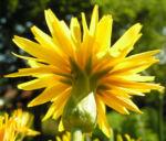 Garten Schwarzwurz Bluete gelb Scorzonera hispanica 05