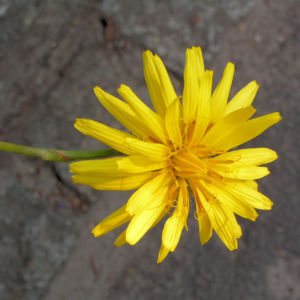 Garten Schwarzwurz Bluete gelb Scorzonera hispanica 06