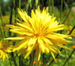 Garten Schwarzwurz Bluete gelb Scorzonera hispanica 07