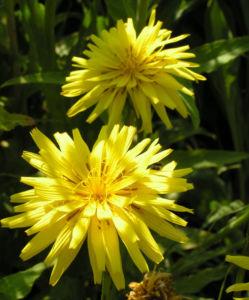 Garten Schwarzwurz Bluete gelb Scorzonera hispanica 08