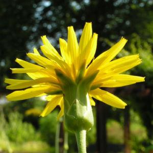 Garten Schwarzwurz Bluete gelb Scorzonera hispanica 09