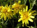 Garten Schwarzwurz Bluete gelb Scorzonera hispanica 10