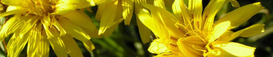 garten-schwarzwurz-bluete-gelb-scorzonera-hispanica