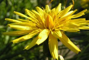 Garten Schwarzwurz Bluete gelb Scorzonera hispanica 11