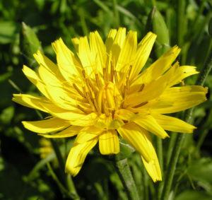 Garten Schwarzwurz Bluete gelb Scorzonera hispanica 12