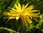 Garten Schwarzwurz Bluete gelb Scorzonera hispanica 13