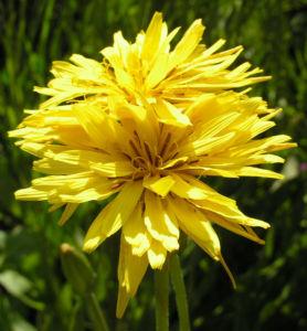 Garten Schwarzwurz Bluete gelb Scorzonera hispanica 14