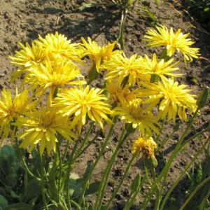 Garten Schwarzwurz Bluete gelb Scorzonera hispanica 15