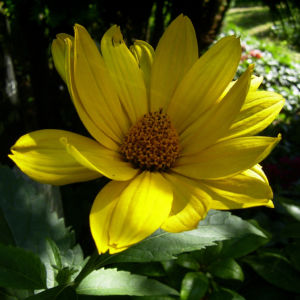 Garten Sonnenblume Helianthus decapetalus 01