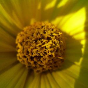 Garten Sonnenblume Helianthus decapetalus 04