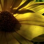 Garten Sonnenblume Helianthus decapetalus 05