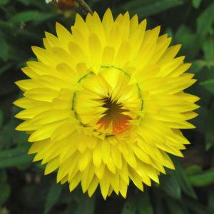 Garten Strohblume Bluete gelb Helichrysum bracteatum 01