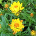 Garten Strohblume Bluete gelb Helichrysum bracteatum 02