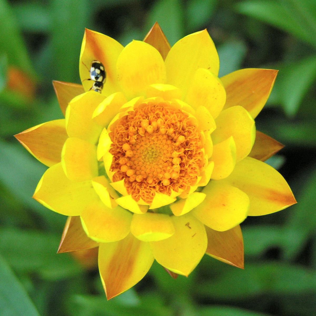 Garten Strohblume Bluete gelb Helichrysum bracteatum