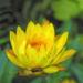 Zurück zum kompletten Bilderset Garten-Strohblume Blüte gelb Helichrysum bracteatum