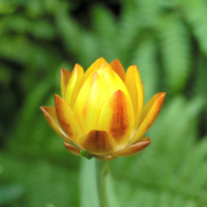 Garten Strohblume Bluete gelb Helichrysum bracteatum 12