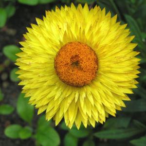 Garten Strohblume Bluete gelb Helichrysum bracteatum 13