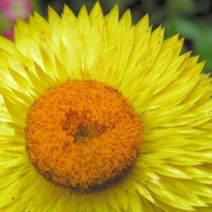 Garten Strohblume Bluete gelb Helichrysum bracteatum 14